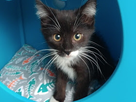 Kitten looking at camera in a cat bed