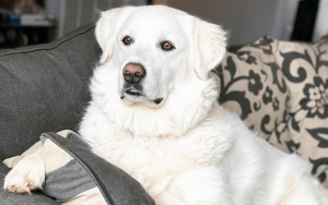 Kiska the Great Pyrenees Service Dog - It's Dog or Nothing