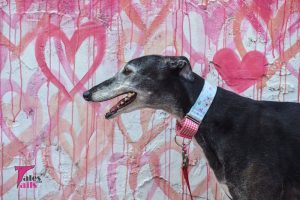 Flattery the Greyhound - Tales and Tails