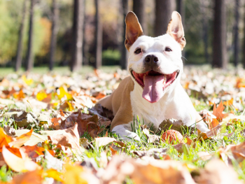 dog laying outside in autumn leaves