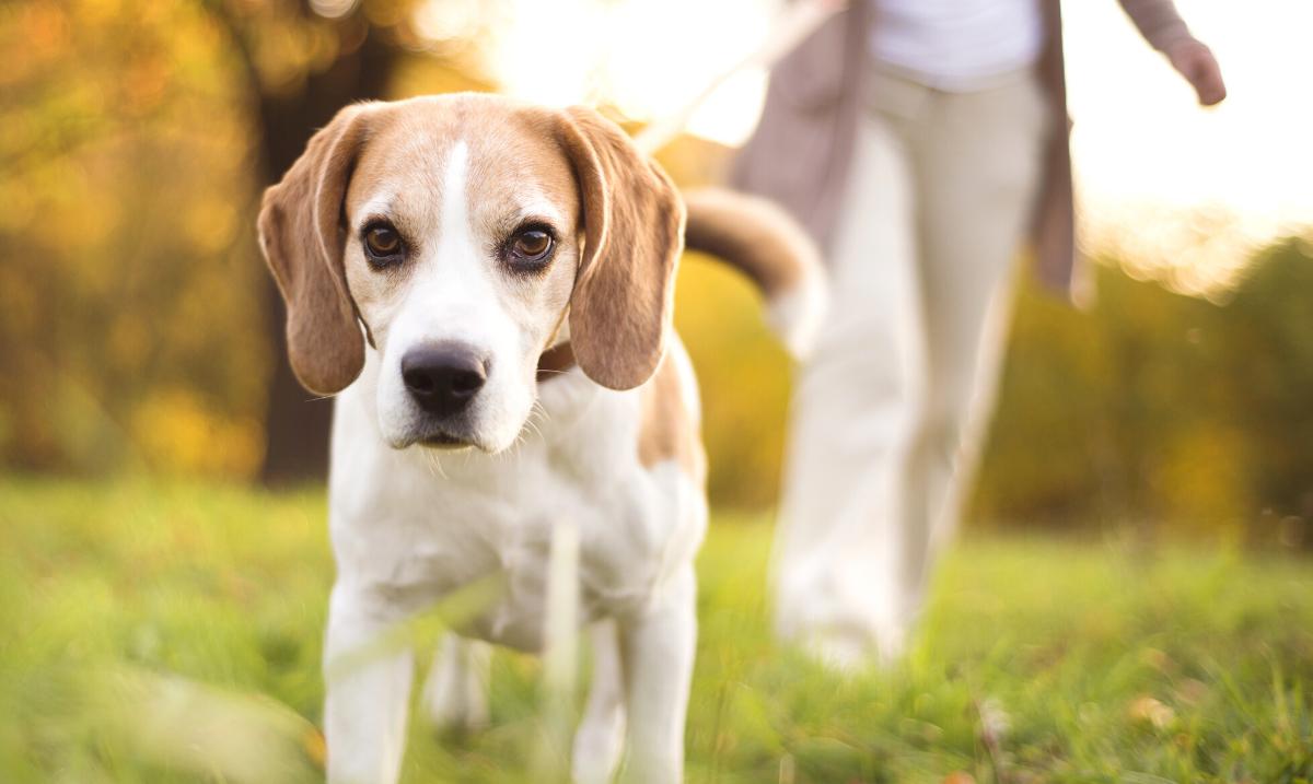 Beagle walking outside