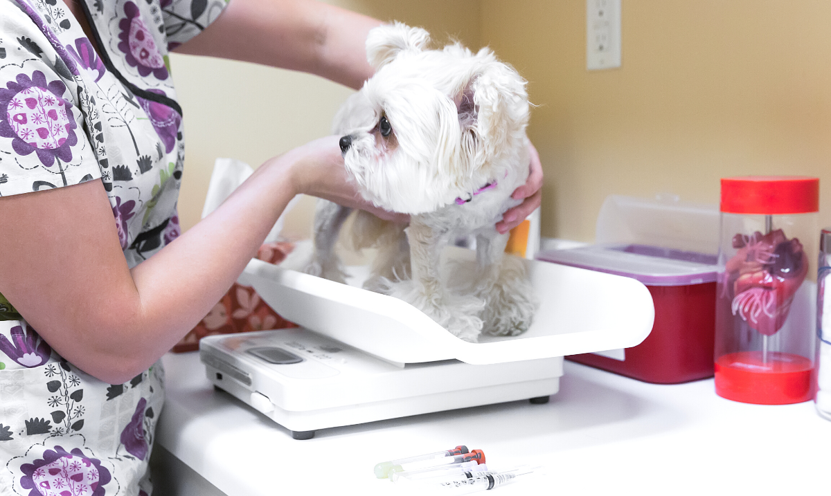 Small dog being weighed at vet