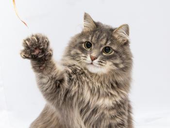 Cat Waving