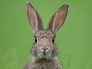 Rabbit on Green Background