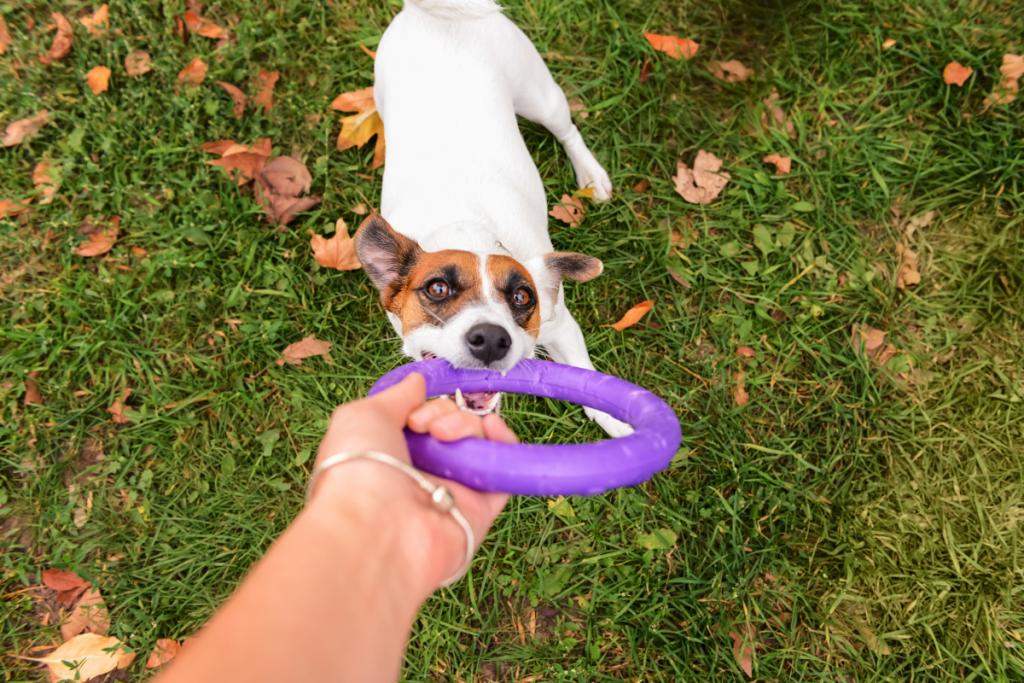 small dog playing tug with a purple toy