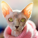 sphynx cat in pink sweater