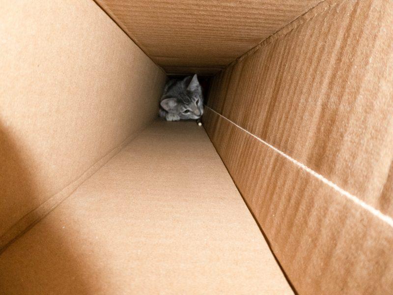 Kitten in Cardboard Box Tunnel