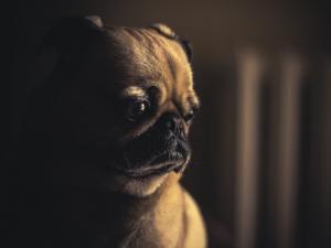 Sad Pug Pet Anxiety