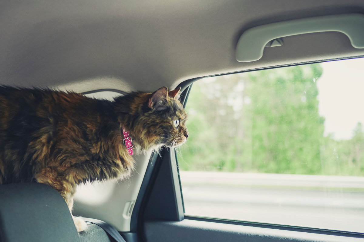 A cat in a car, looking out the window