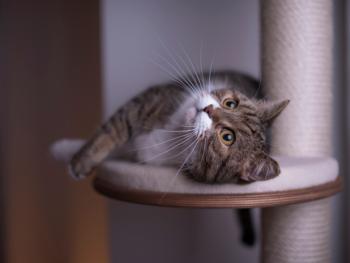 Cat Laying on Cat Tree