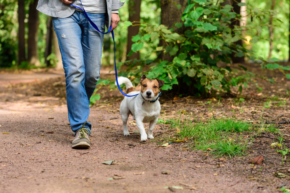 small dog on a blue leash, walking next to a person in blue jeans on an outdoor trail