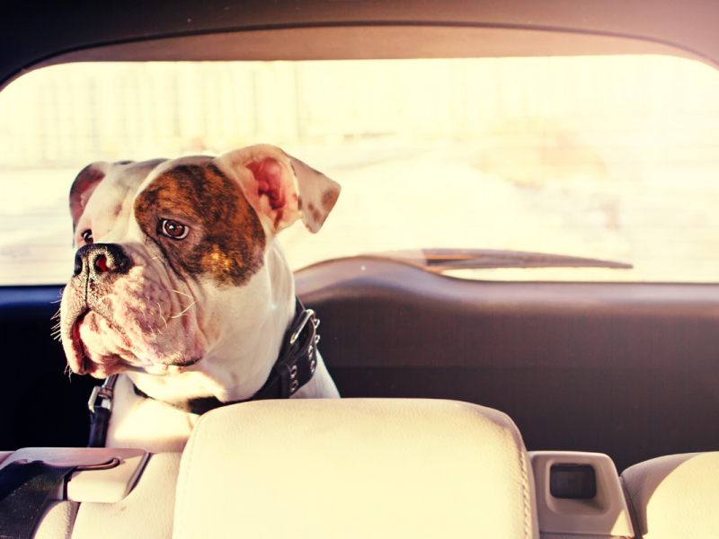 A white dog with brown on one ear and brown around it's left eye is sitting in the back of a vehicle