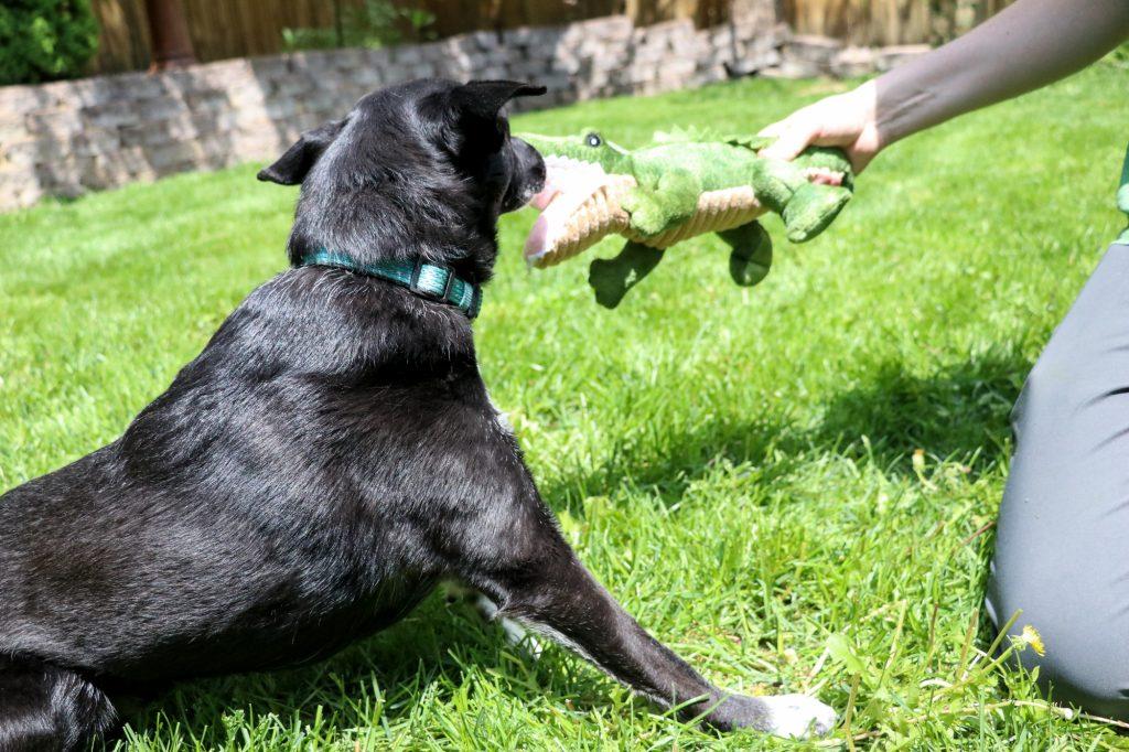 dog sensory alligator toy Tall Tails