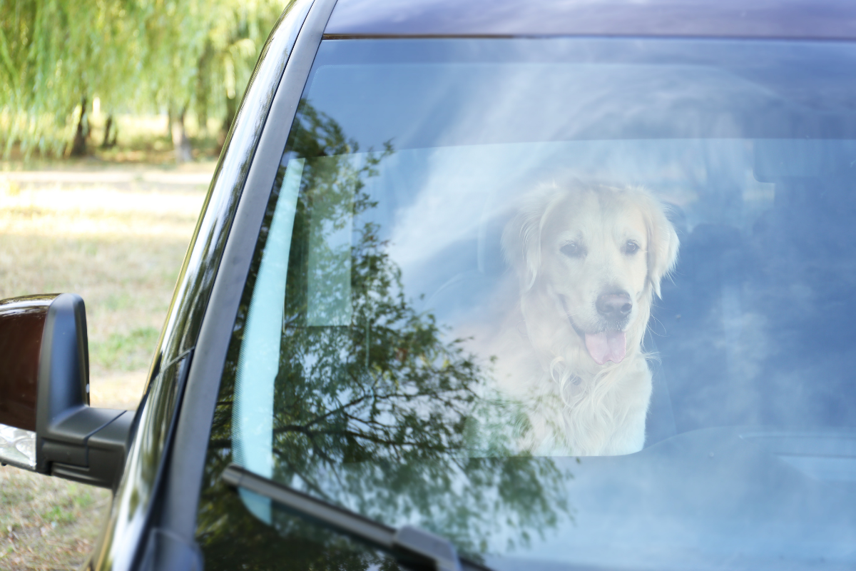 A dog sitting in a car, looking out the front window