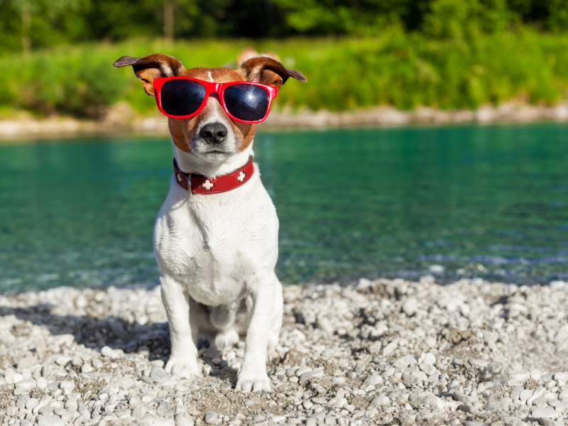 small dog sitting on the rocky shore of a river wearing sunglasses