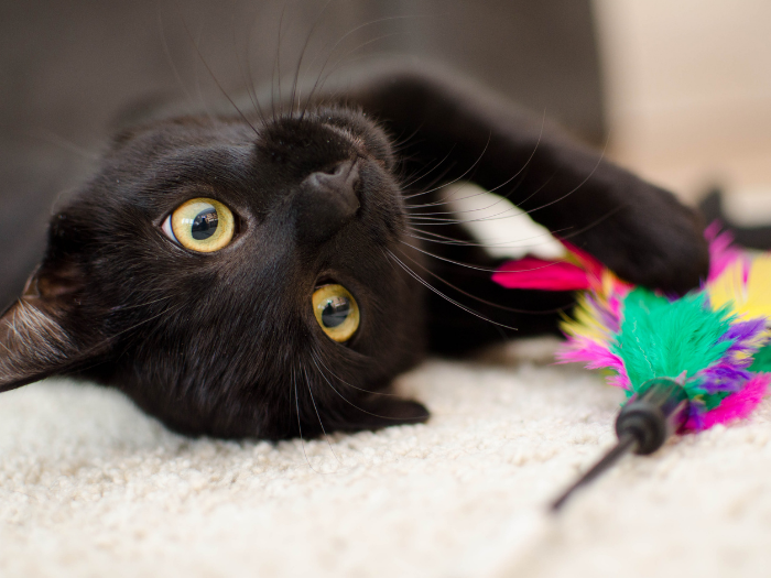black cat playing with wand toy