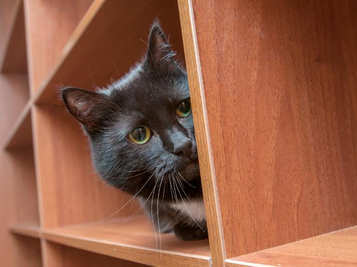 cat hiding in bookshelf