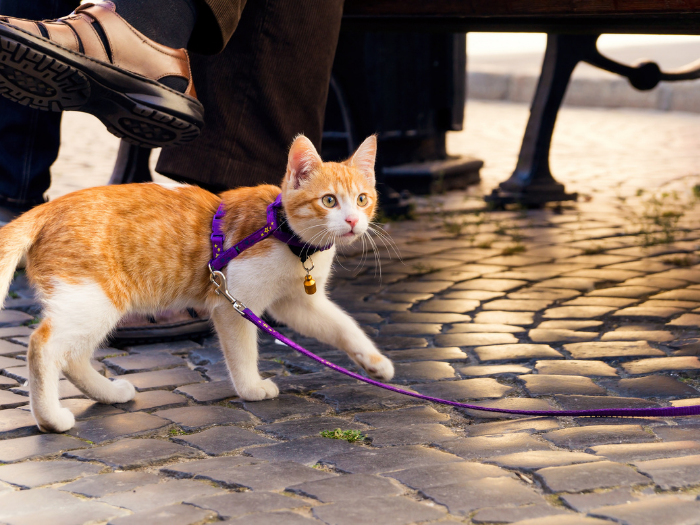 cat with harness and leash on outing