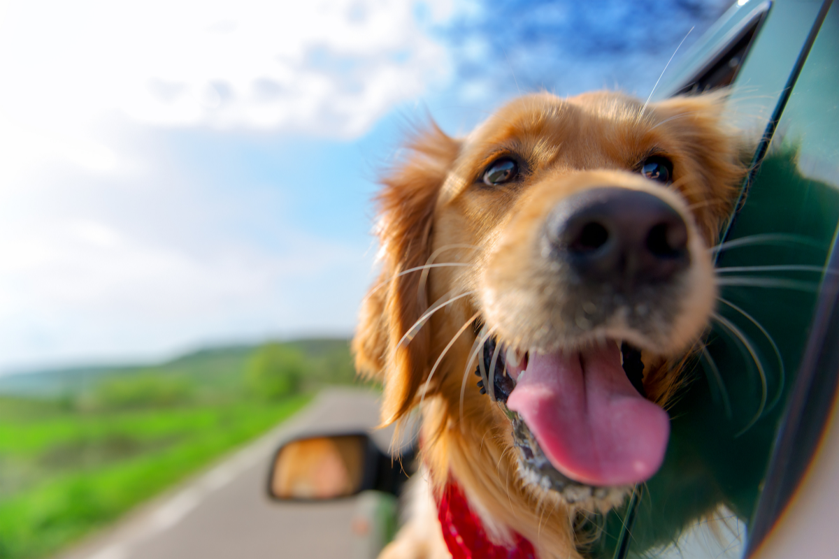 Dog head outside of car