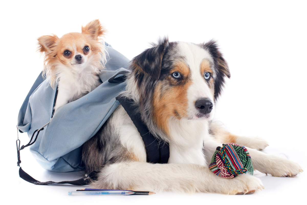 2 Dogs with Blue Backpack