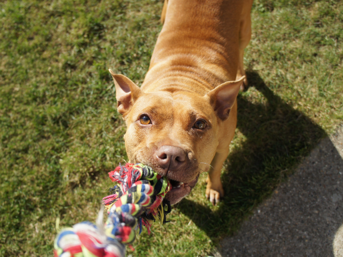 dog with rope tug toy