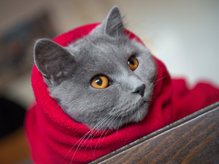 grey cat in red blanket