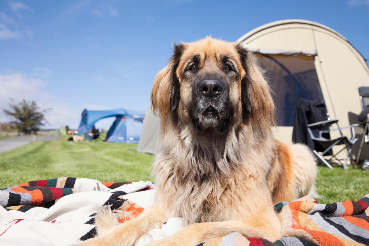 tent dog outside