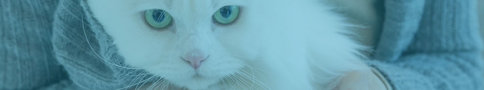White cat's face with blue eyes up close