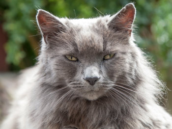 long haired grey cat