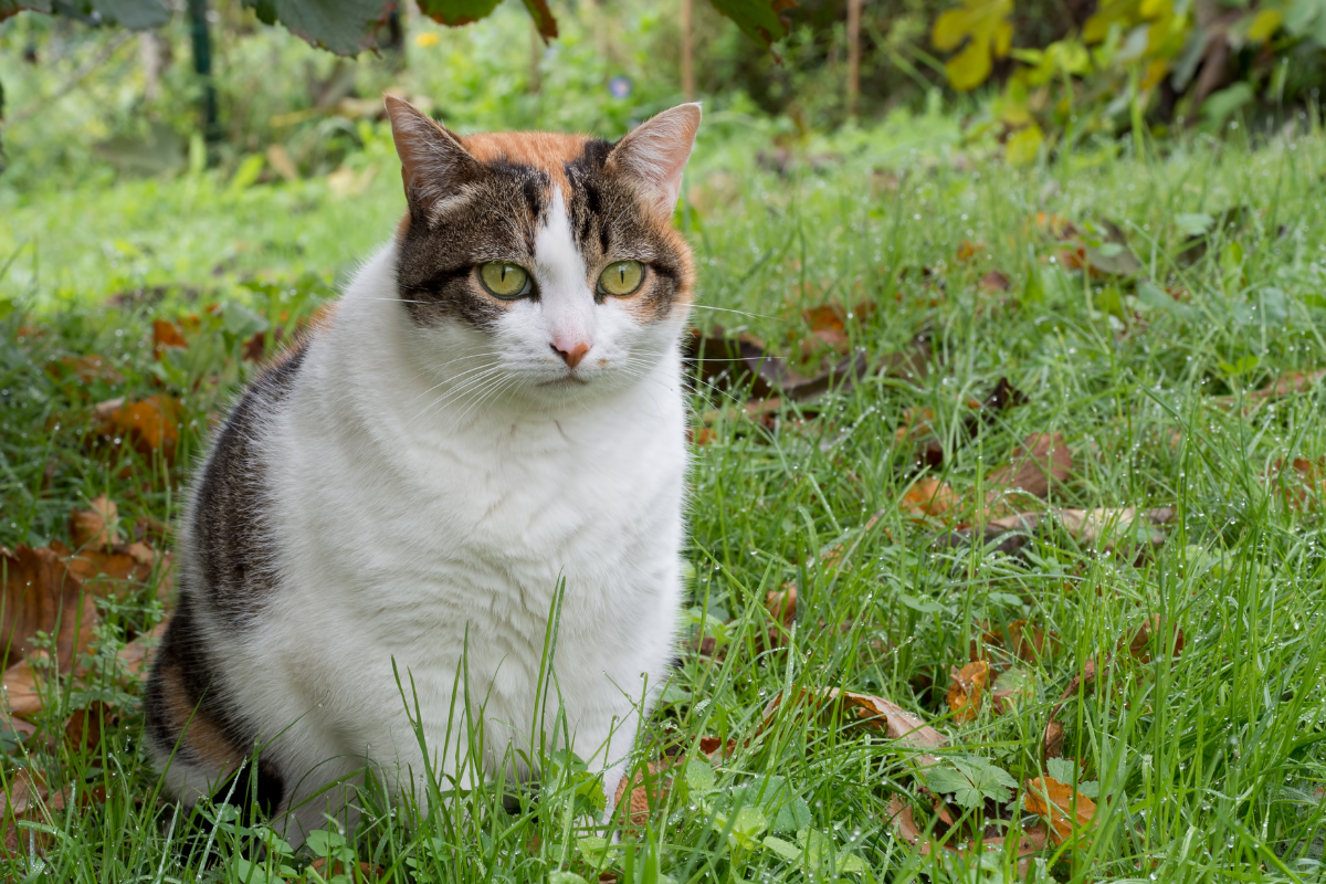 overweight cat sitting outside