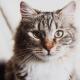 silver tabby cat face