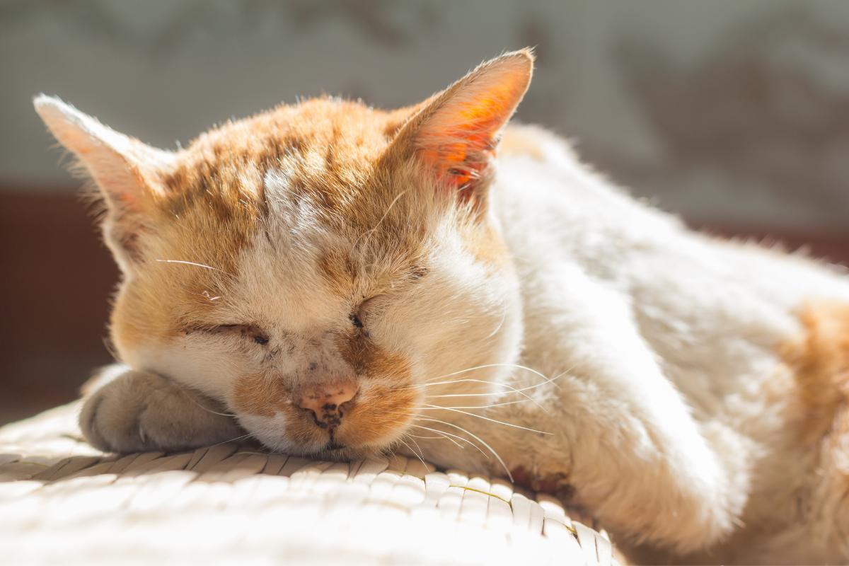 sleeping orange and white cat