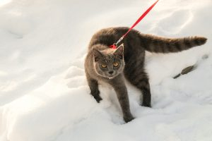 grey cat on harness in snow